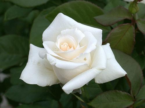 anatasia rose